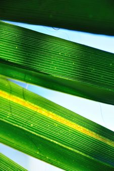 Free Palm Leaf Royalty Free Stock Photography - 10308757