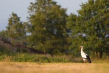 Free White Stork Standing In A Grassland Stock Photos - 10309793