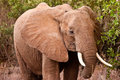 Free Elephant Walking In The Bush Of Africa Stock Photos - 10314433