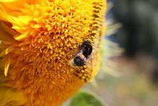 Free Bumblebee Stock Image - 10310031