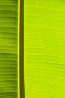Banana Palm Tree Green Leaf Stock Images