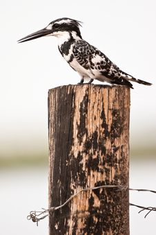 Free Black Nd White Kingfisher Bird Sitting On A Pile Royalty Free Stock Image - 10310066
