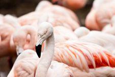 Flamingo Bird Closeup Royalty Free Stock Images