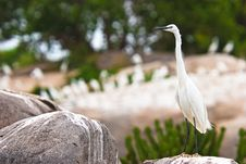 Free Little Egret Bird Sitting On A Rock Stock Photo - 10310180