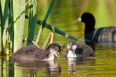 Free Juvenile Coot Birds Swiming In The Water Stock Images - 10310414