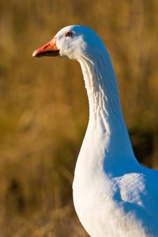 Free White Goose Walking In The Grass Royalty Free Stock Photos - 10310468
