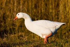 Free White Goose Walking In The Grass Royalty Free Stock Image - 10310476