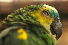 Sleepy Parrot Stock Images