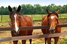 Free Two Horses Royalty Free Stock Images - 10314199