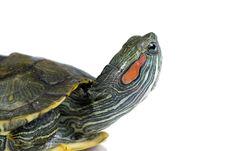 Free Turtle Royalty Free Stock Photo - 10314245