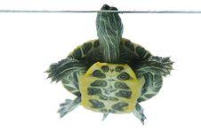 Free Swimming Turtle Royalty Free Stock Photos - 10314288