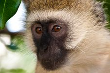 Free Monkey Face Stock Photography - 10314412