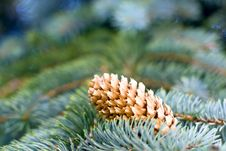 Free Pine Royalty Free Stock Photography - 10314647