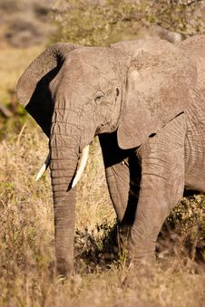 Free Elephant Walking In The Bush Stock Photo - 10314830