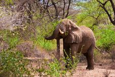 Free Elephant Walking In The Bush Royalty Free Stock Photo - 10315175