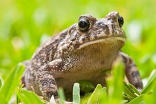 Free Striped Frog Sitting In The Grass Stock Image - 10315221