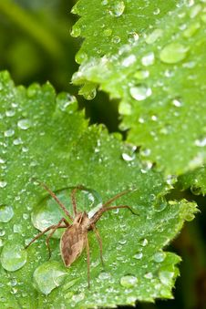 Brown Spider Walking On A Leaf Royalty Free Stock Photography