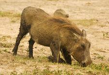 Free Warthog Royalty Free Stock Photos - 10315798