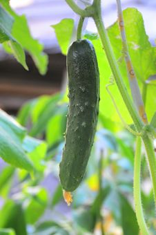 Free Green Cucumber Royalty Free Stock Images - 10316139