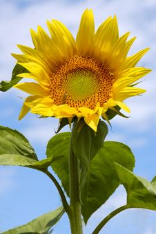 Free Sunflower Royalty Free Stock Images - 10316159