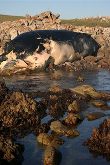 Free Whale Carcass Stock Image - 10316391
