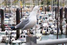 Common Gull At Dieppe Marina Royalty Free Stock Photography