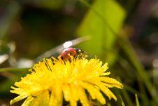 Free Ladybug Royalty Free Stock Image - 10317276