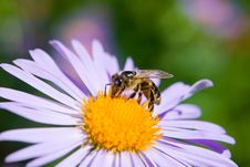 Free Bee Stock Image - 10317331