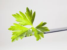 Free Fresh Parsley Leaf Stock Photography - 10317932