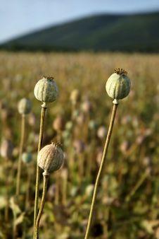 Free Closeup View Of Three Poppyheads Royalty Free Stock Photo - 10318985