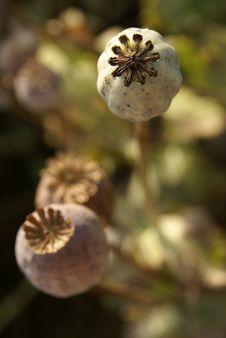 Free Poppyheads Top View Stock Photos - 10318993