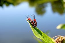 Free Milkweed Bugs Mating Stock Photos - 10319123