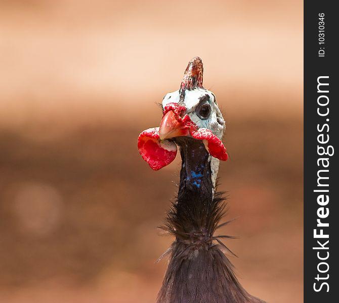 Guinea fowl bird in closeup