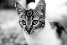 Free Cat, Whiskers, Face, Black And White Stock Images - 103145814