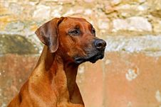 Free Dog, Dog Breed, Rhodesian Ridgeback, Dog Like Mammal Stock Photography - 103146382