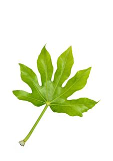 Free Fig Leaf Stock Photos - 10320773