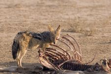 Free Jackal To Late For The Feast. Stock Image - 10322461