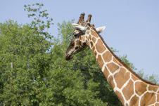 Free Giraffe Stock Images - 10324254
