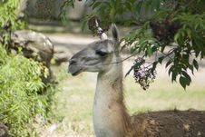 Free Guanaco Stock Photography - 10324262