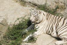 Free White Tiger 4 Royalty Free Stock Photos - 10324278