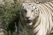 Free White Tiger 2 Royalty Free Stock Photos - 10324288