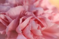 Free Pink Carnation Stock Photography - 10325832