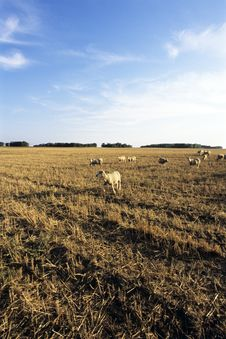 Free Golden Field And Sheeps Stock Photography - 10326082