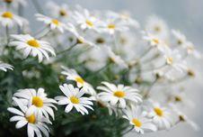 Free Daisy Stock Image - 10326491