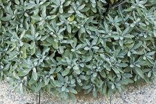 Free Fresh Salvia Leaves Royalty Free Stock Photography - 10327767