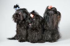 Three Lap-dogs In Studio Royalty Free Stock Images