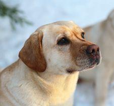 Free Dog Of Breed Labrador A Retriever. Stock Photo - 10328040