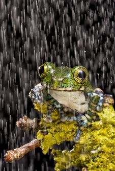 Free Peacock Tree Frog Royalty Free Stock Photography - 10328307