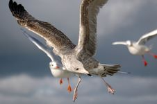 Young Seagull Royalty Free Stock Photos