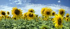 Free Sunflower Field In Front Of The Beautiful Sky Stock Photos - 10329043